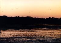 picture of sandhill cranes coming to roost